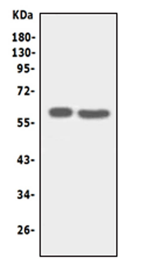 Anti-SLC22A6 antibody, PA1683, Western blotting<br>Lane 1: HT1080 Cell Lysate <br>Lane 2: HELA Cell Lysate<br>