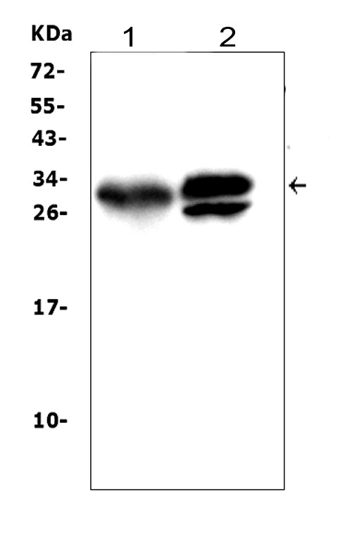 Figure 3. Western blot analysis of KLK1 using anti- KLK1 antibody (PA1709). <br> Electrophoresis was performed on a 5-20% SDS-PAGE gel at 70V (Stacking gel) / 90V (Resolving gel) for 2-3 hours. The sample well of each lane was loaded with 50ug of sample under reducing conditions. <br> Lane 1: rat pancreas tissue lysates, <br> Lane 2: mouse pancreas tissue lysates, <br> After Electrophoresis, proteins were transferred to a Nitrocellulose membrane at 150mA for 50-90 minutes. Blocked the membrane with 5% Non-fat Milk/ TBS for 1.5 hour at RT. The membrane was incubated with rabbit anti- KLK1 antigen affinity purified polyclonal antibody (Catalog # PA1709) at 0.5 μg/mL overnight at 4°C, then washed with TBS-0.1%Tween 3 times with 5 minutes each and probed with a goat anti-rabbit IgG-HRP secondary antibody at a dilution of 1:10000 for 1.5 hour at RT. The signal is developed using an Enhanced Chemiluminescent detection (ECL) kit (Catalog # EK1002) with Tanon 5200 system. A specific band was detected for KLK1 at approximately 29KD. The expected band size for KLK1 is at 29KD.
