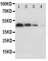 Anti-PECAM-1/CD31 Antibody
