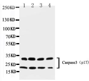 Anti-Caspase-3 (P17) Antibody