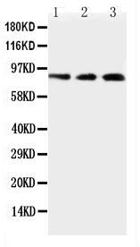 Anti-TLR2 Antibody