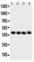 Anti-CD34 Picoband™ Antibody