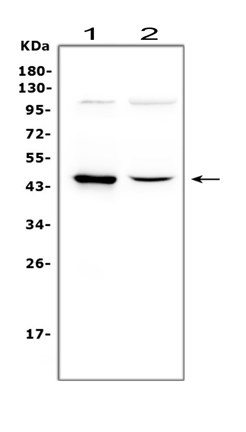 Figure 1. Western blot analysis of Wnt5a using anti-Wnt5a antibody (PB9063). <br> Electrophoresis was performed on a 5-20% SDS-PAGE gel at 70V (Stacking gel) / 90V (Resolving gel) for 2-3 hours. The sample well of each lane was loaded with 50ug of sample under reducing conditions. <br> Lane 1: human Hela whole cell lysate, <br> Lane 2: human PC-3 whole cell lysate. <br> After Electrophoresis, proteins were transferred to a Nitrocellulose membrane at 150mA for 50-90 minutes. Blocked the membrane with 5% Non-fat Milk/ TBS for 1.5 hour at RT. The membrane was incubated with rabbit anti-Wnt5a antigen affinity purified polyclonal antibody (Catalog # PB9063) at 0.5 μg/mL overnight at 4°C, then washed with TBS-0.1%Tween 3 times with 5 minutes each and probed with a goat anti-rabbit IgG-HRP secondary antibody at a dilution of 1:10000 for 1.5 hour at RT. The signal is developed using an Enhanced Chemiluminescent detection (ECL) kit (Catalog # EK1002) with Tanon 5200 system. A specific band was detected for Wnt5a at approximately 45KD. The expected band size for Wnt5a is at 42KD.