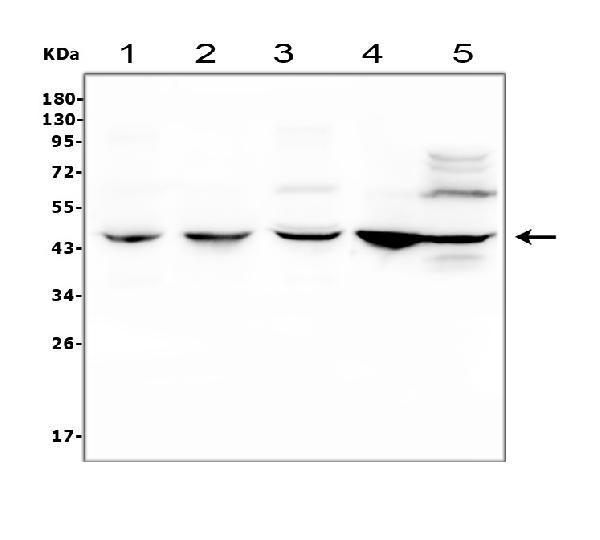 Figure 3. Western blot analysis of CEBP Beta using anti- CEBP Beta antibody (PB9171).