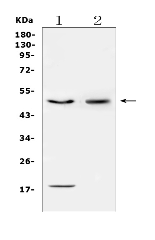 Figure 4. Western blot analysis of CD46 using anti-CD46 antibody (PB9486). <br> Electrophoresis was performed on a 5-20% SDS-PAGE gel at 70V (Stacking gel) / 90V (Resolving gel) for 2-3 hours. The sample well of each lane was loaded with 50ug of sample under reducing conditions. <br> Lane 1: human HepG2 whole cell lysates, <br> Lane 2: human K562 whole cell lysates. <br> After Electrophoresis, proteins were transferred to a Nitrocellulose membrane at 150mA for 50-90 minutes. Blocked the membrane with 5% Non-fat Milk/ TBS for 1.5 hour at RT. The membrane was incubated with rabbit anti-CD46 antigen affinity purified polyclonal antibody (Catalog # PB9486) at 0.5 μg/mL overnight at 4°C, then washed with TBS-0.1%Tween 3 times with 5 minutes each and probed with a goat anti-rabbit IgG-HRP secondary antibody at a dilution of 1:10000 for 1.5 hour at RT. The signal is developed using an Enhanced Chemiluminescent detection (ECL) kit (Catalog # EK1002) with Tanon 5200 system. A specific band was detected for CD46 at approximately 50KD. The expected band size for CD46 is at 44KD.