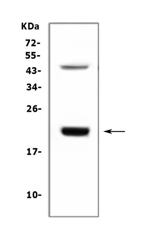 Figure 1. Western blot analysis of GH1 using anti- GH1 antibody (RP1023). <br> Electrophoresis was performed on a 5-20% SDS-PAGE gel at 70V (Stacking gel) / 90V (Resolving gel) for 2-3 hours. The sample well of each lane was loaded with 50ug of sample under reducing conditions. <br> Lane 1: human placenta tissue lysates, <br> After Electrophoresis, proteins were transferred to a Nitrocellulose membrane at 150mA for 50-90 minutes. Blocked the membrane with 5% Non-fat Milk/ TBS for 1.5 hour at RT. The membrane was incubated with rabbit anti- GH1 antigen affinity purified polyclonal antibody (Catalog # RP1023) at 0.5 μg/mL overnight at 4°C, then washed with TBS-0.1%Tween 3 times with 5 minutes each and probed with a goat anti-rabbit IgG-HRP secondary antibody at a dilution of 1:10000 for 1.5 hour at RT. The signal is developed using an Enhanced Chemiluminescent detection (ECL) kit (Catalog # EK1002) with Tanon 5200 system. A specific band was detected for GH1 at approximately 22KD. The expected band size for GH1 is at 25KD.
