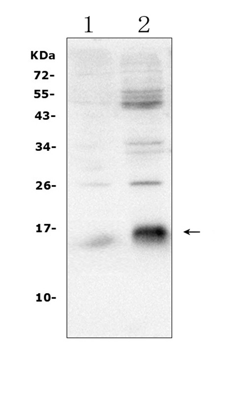 Figure 1. Western blot analysis of Survivin using anti-Survivin antibody (RP1026). <br> Electrophoresis was performed on a 5-20% SDS-PAGE gel at 70V (Stacking gel) / 90V (Resolving gel) for 2-3 hours. The sample well of each lane was loaded with 50ug of sample under reducing conditions. <br> Lane 1: mouse SP2/0 whole cell lysates, <br> Lane 2: human HEK293 whole cell lysates. <br> After Electrophoresis, proteins were transferred to a Nitrocellulose membrane at 150mA for 50-90 minutes. Blocked the membrane with 5% Non-fat Milk/ TBS for 1.5 hour at RT. The membrane was incubated with rabbit anti-Survivin antigen affinity purified polyclonal antibody (Catalog # RP1026) at 0.5 μg/mL overnight at 4°C, then washed with TBS-0.1%Tween 3 times with 5 minutes each and probed with a goat anti-rabbit IgG-HRP secondary antibody at a dilution of 1:10000 for 1.5 hour at RT. The signal is developed using an Enhanced Chemiluminescent detection (ECL) kit (Catalog # EK1002) with Tanon 5200 system. A specific band was detected for Survivin at approximately 16KD. The expected band size for Survivin is at 16KD.
