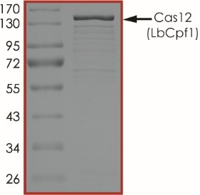The purity of Cas12 (LbCpf1) was determined to be ~70% by densitometry, approx. MW 150 kDa (calculated MW ~164 kDa).