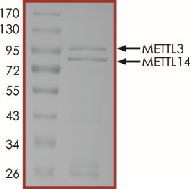 The  purity  of METTL3/METTL14 complex  was  determined to be >90% by densitometry, approx. MW 100 kDa (METTL3) and 84 kDa (METTL14).