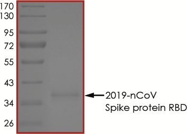 The purity of nCoV-RBD was determined to be >95% by densitometry, approx. MW 39 kDa.