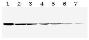 Goat Anti-Rabbit IgG Secondary Antibody, HRP Conjugate