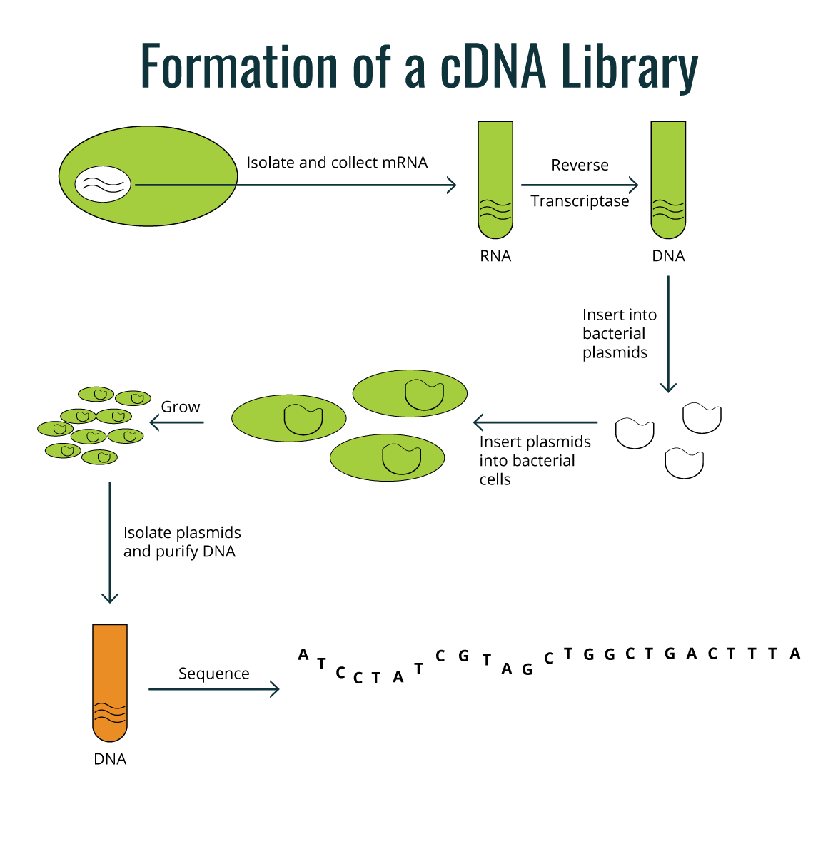 Formation of a cDNA Library