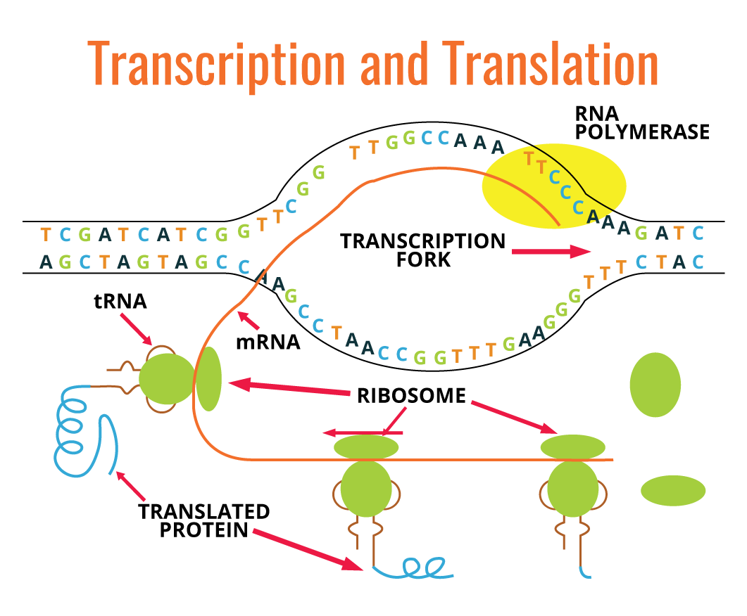 Molecular Biology Fundamental Principles Review