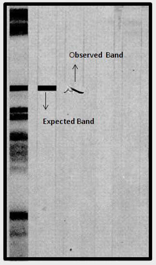 western blot uneven band image
