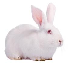 white-rabbit-cropped