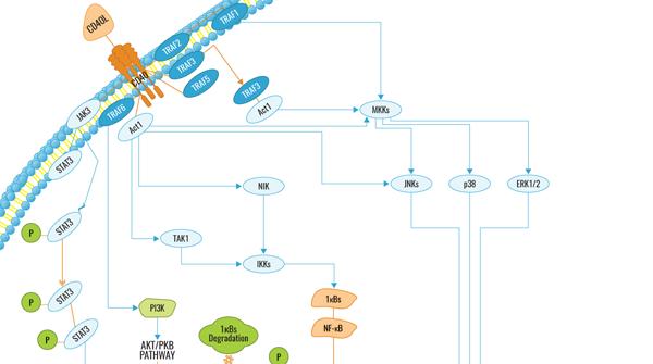 CD40 Signaling Pathway