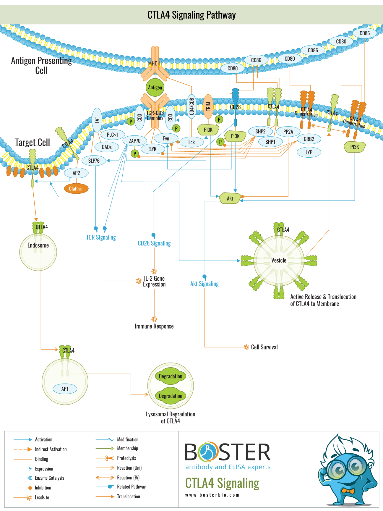 Click to download CTLA4 Signaling Pathway PDF
