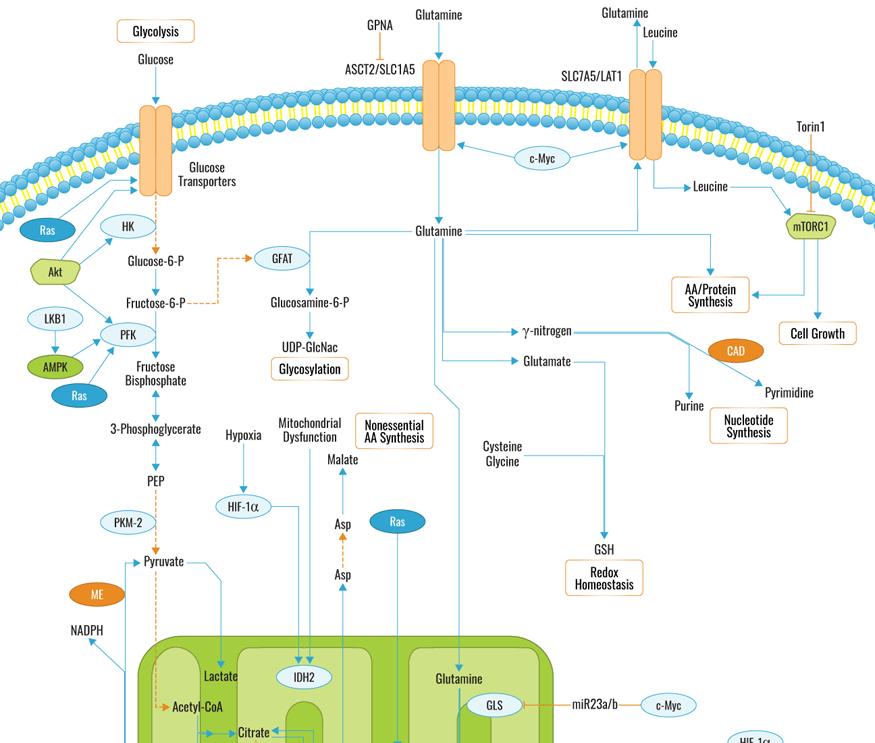 Click to download Glutamine Metabolism Pathway PDF