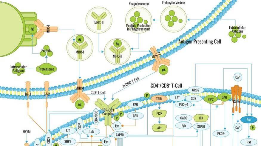 TCR Signaling Pathway