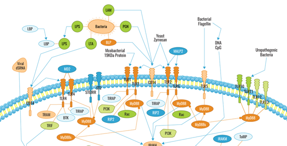 Click to download Toll-Like Receptors Pathway PDF