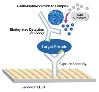 Boster's sandwich ELISA assay