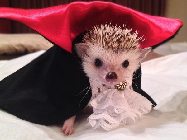 Happy Halloween vampire hedgehog