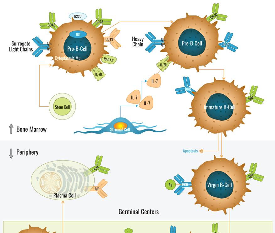 B-Cell Development Pathway